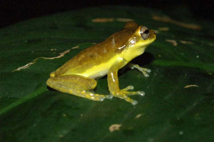 Osteopilus pulchrilineatus