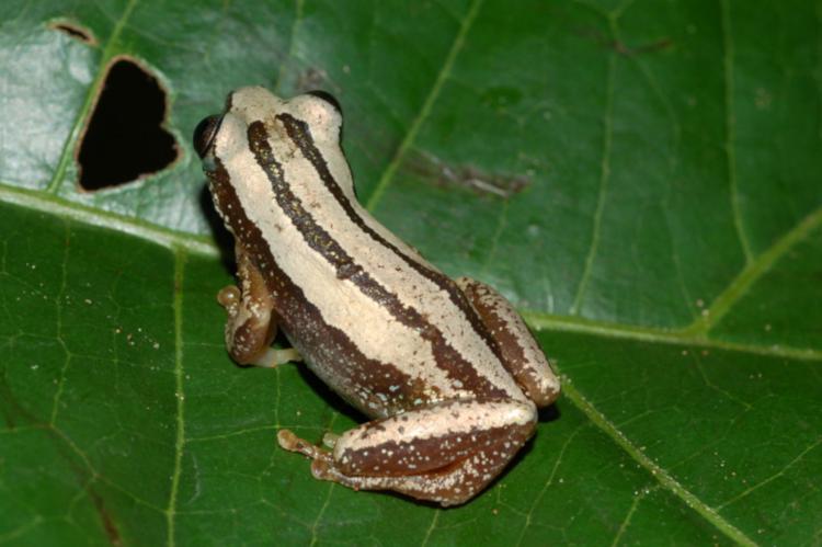 Afrixalus quadrivittatus