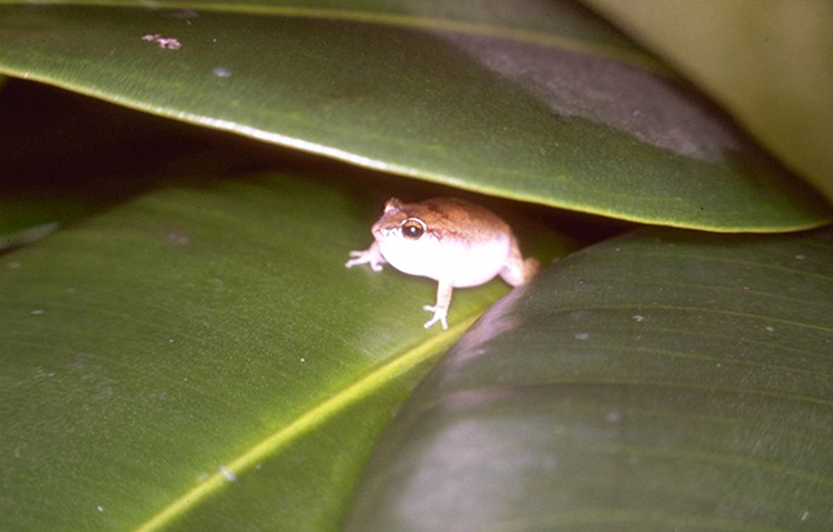 Eleutherodactylus johnstonei